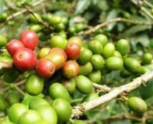 Chicchi di caffè verde