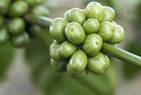 Estratto di Caffè Verde