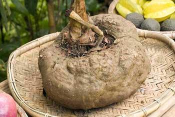 Konjac è una pianta perenne a una foglia originaria di vari paesi asiatici tra cui Giappone e Indonesia.